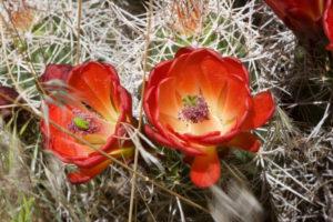 Cactus Flower Lotion
