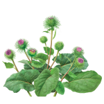 Why do I use Burdock Root?